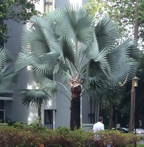 Bismarck Palm Tree (Bismarkia Nobilis) Originated in Madagascar.