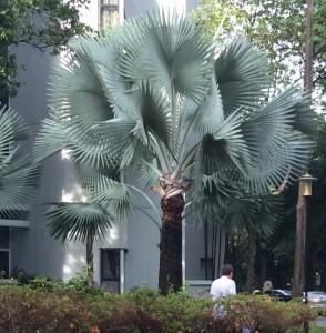 Bismarck Palm Tree (Bismarkia Nobilis) Originated in Madagascar.
