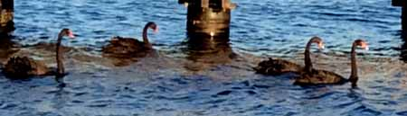 06-06-15 black swans1-72