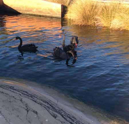 06-06-15 black swans2-72