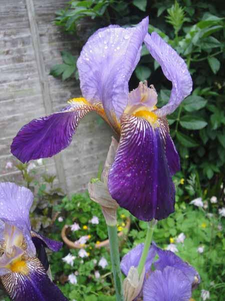 Alcazar Iris