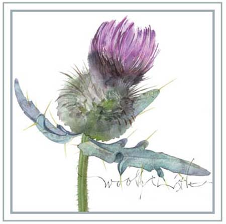 Woolley Thistle