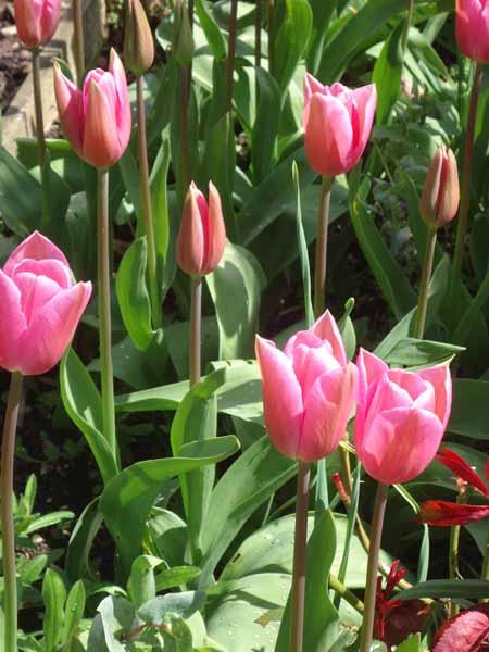 Caresse tulip