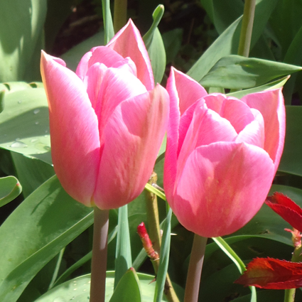 Tulipa Caresse before opening fully